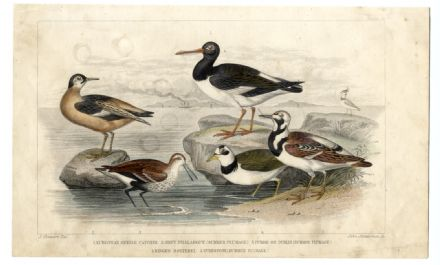 1852 Antique Print BIRDS Oyster Catcher DUNLIN Turnstone DOTTEREL With Hand Colouring